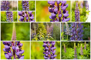Lupine Hommels bijen