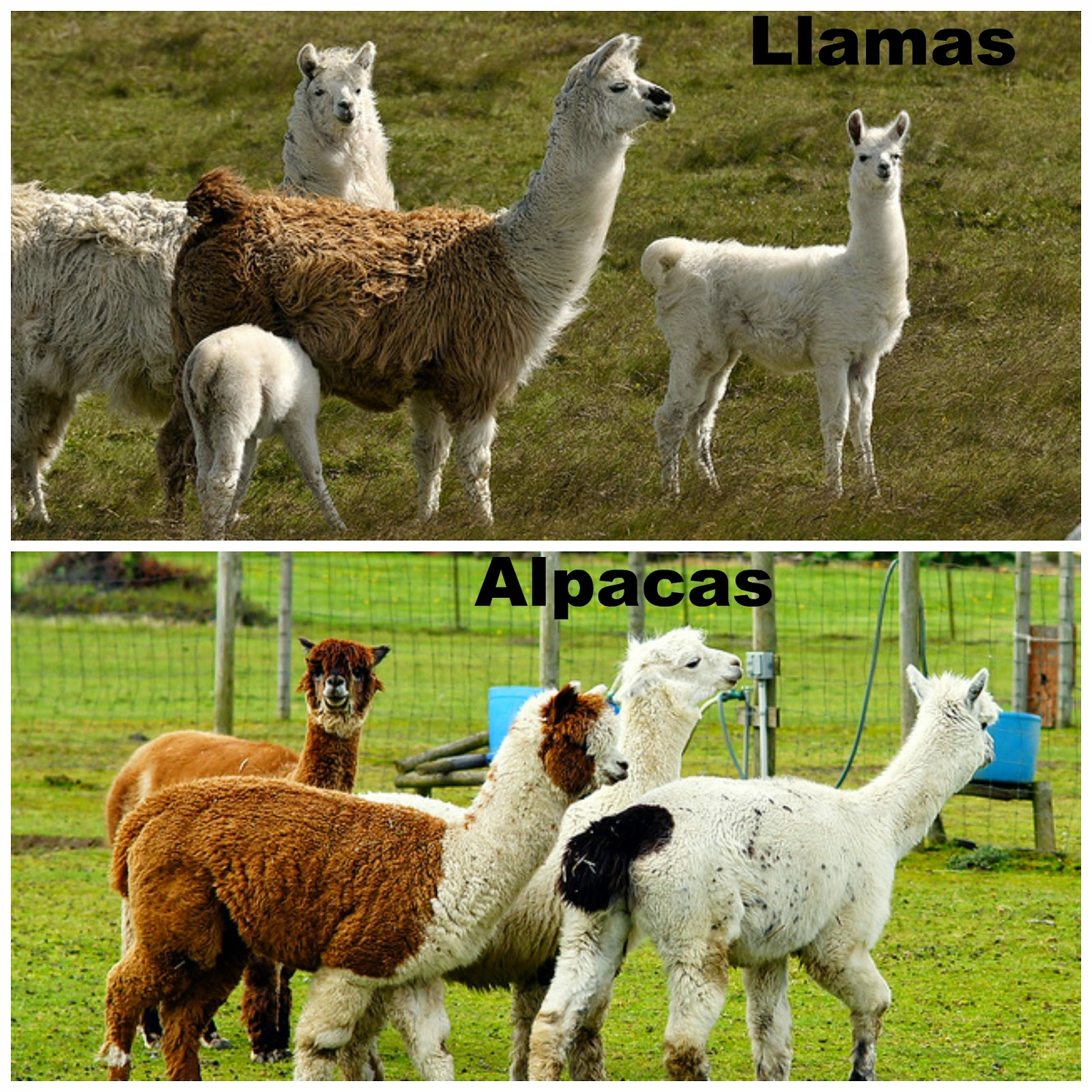 llamas and alpacas essay