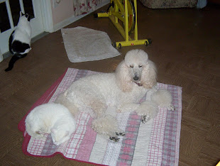 My Standard Poodle Thomas and my very old cat Chubbs Sharing the blanket