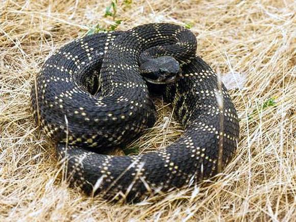 black snake Crotalus oreganus