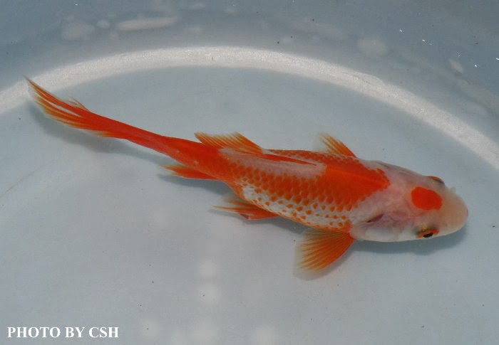 Red and white comet goldfish - photo#13
