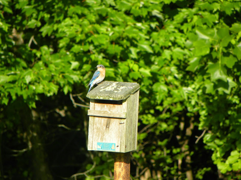 BLUE BIRDS ARE NESTING IN SEVERAL AREAS AROUND THE COURSE.