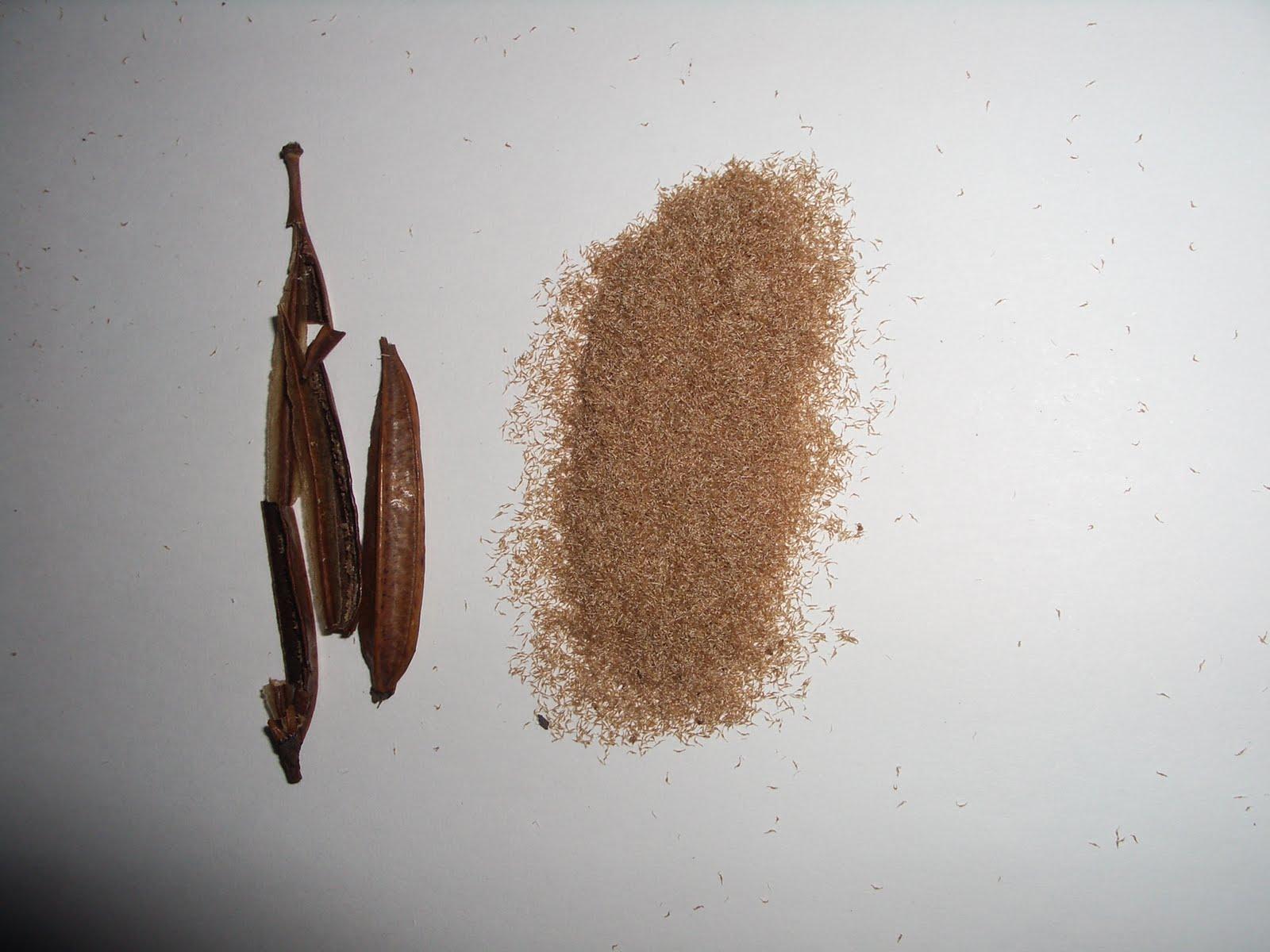 semillas de orquideas