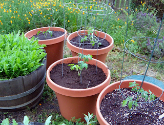 Four containers of tomatoes