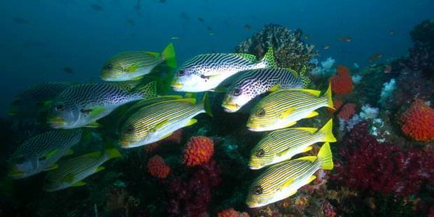 Ikan dan terumbu karang di Raja Ampat, Papua Barat.