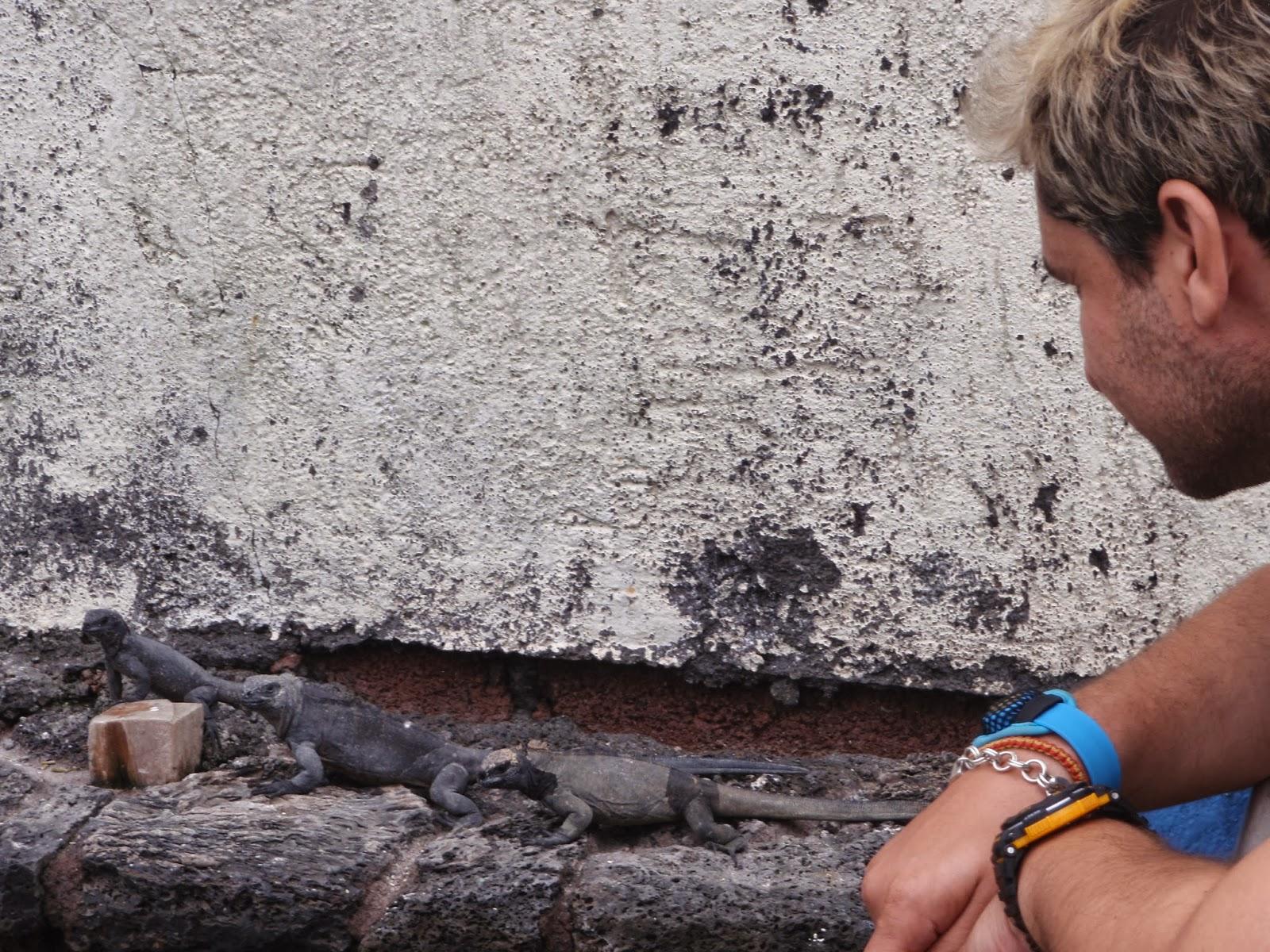 pequeñas iguanas