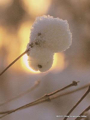 snöbär