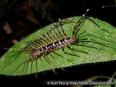 Cave Centipede (Thereuopoda longicornis)