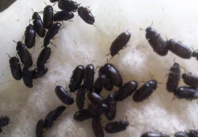 manfaat dari semut jepang