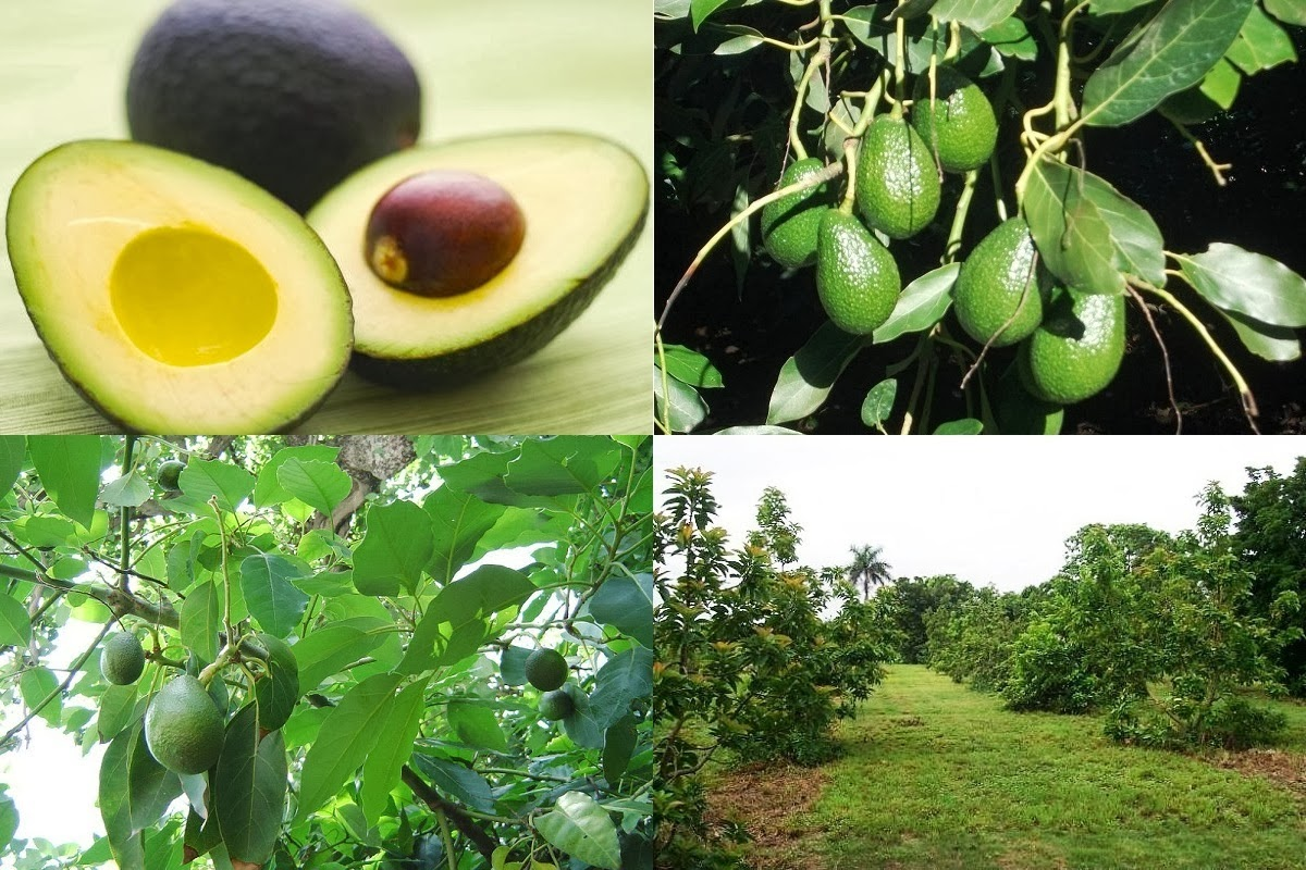 avocado farming business - Grow An Avocado
