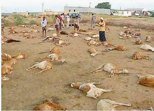 430 Sheep Die