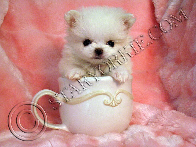Cute dogs pomeranian teacup puppies