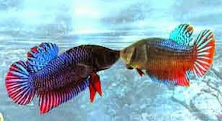 Gambar ikan Cupang