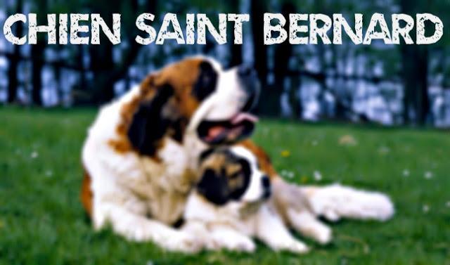 chien saint bernard