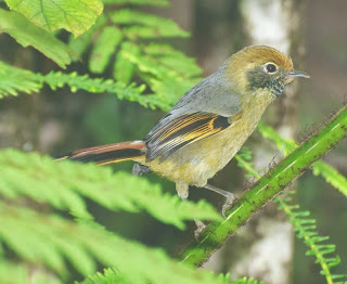 Chestnut-tailed Minla (Chrysominla strigula)