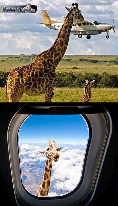 funny giraffe image picture