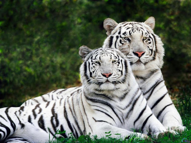 Male & Female 'White' Tigers