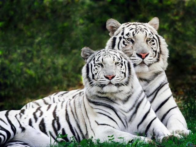 Male & Female 'White' Tigers