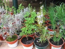 ervas aromáticas !!!