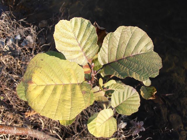 Hojas de Aliso (Alnus glutinosa)