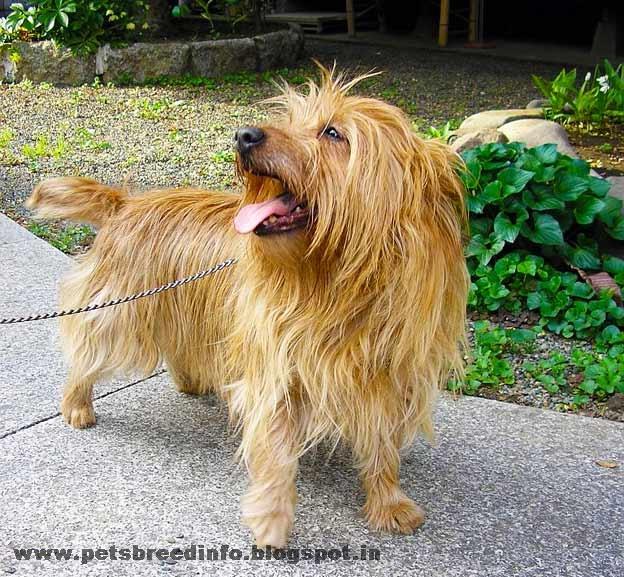 Australian Yorkshire Terrier Dog HD Wallpapers Free