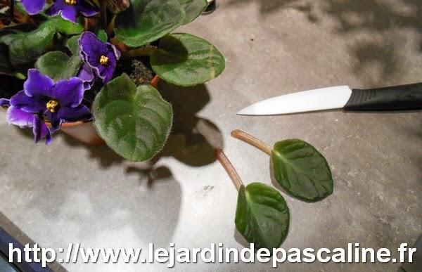 Le jardin de pascaline bouture de saint paulia ou for Violette africane