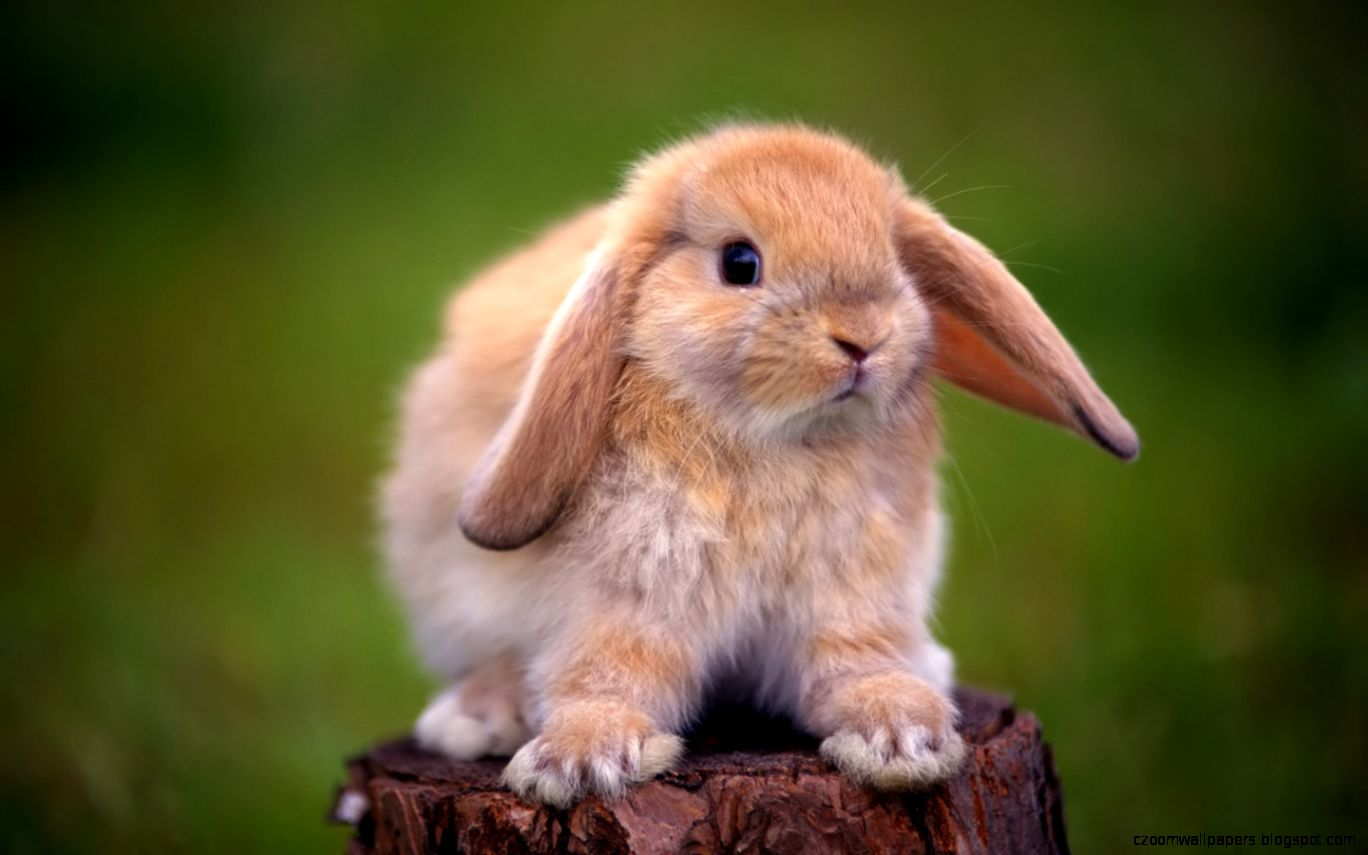 Rabbit HD Wallpapers  Cute Rabbit Desktop Images  Cool Wallpapers