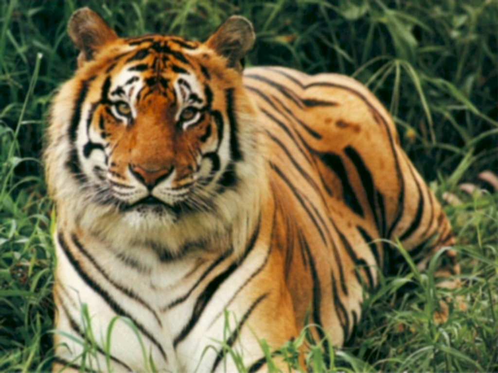 tigers endangered What is the problem tigers are one of the earth's fastest disappearing species at the beginning of this century there were about 100,000 wild tigers.
