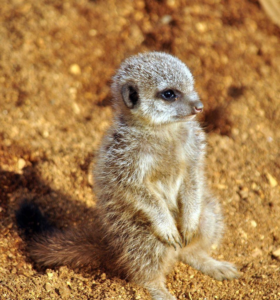 22. Baby meerkat
