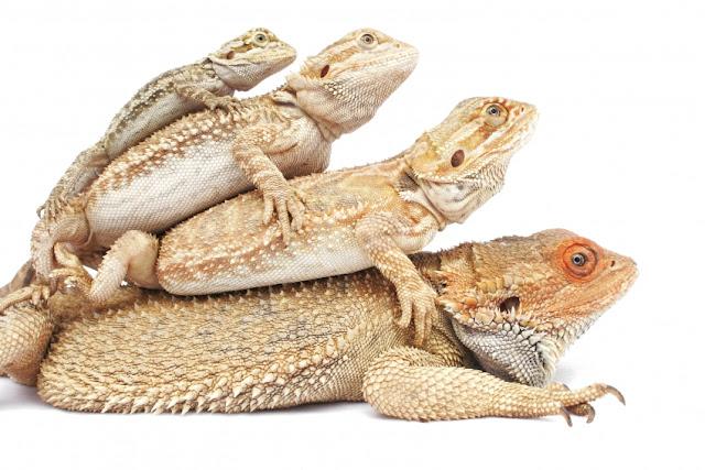 http://lizardmeanders.blogspot.com/