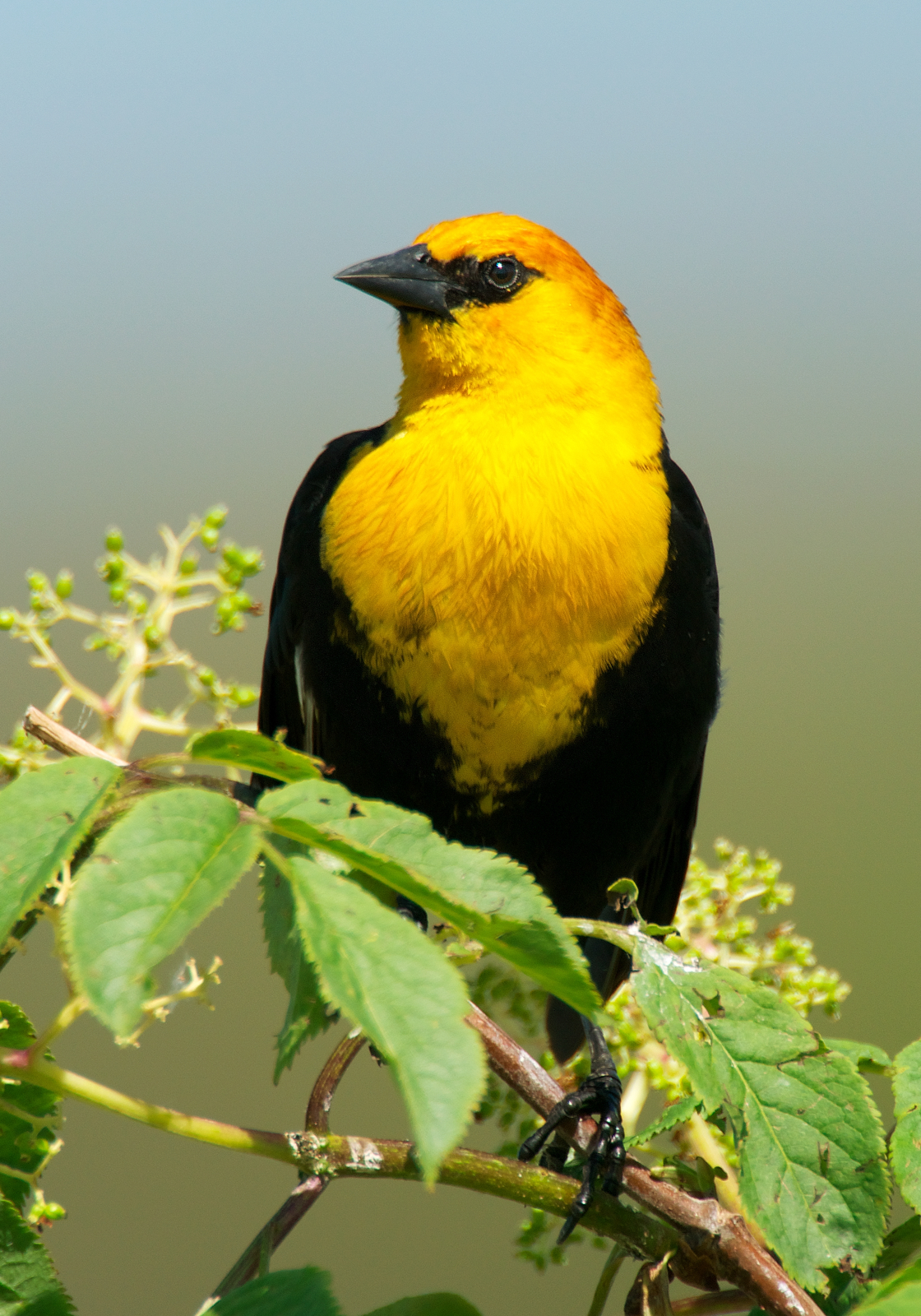 Yellow Headed Blackbird NW Bird Blog: Yellow-h...