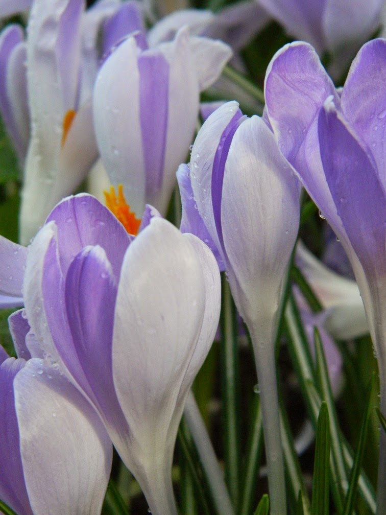 Vanguard crocus vernus Allan Gardens Conservatory 2015 Spring Flower Show by garden muses-not another Toronto gardening blog