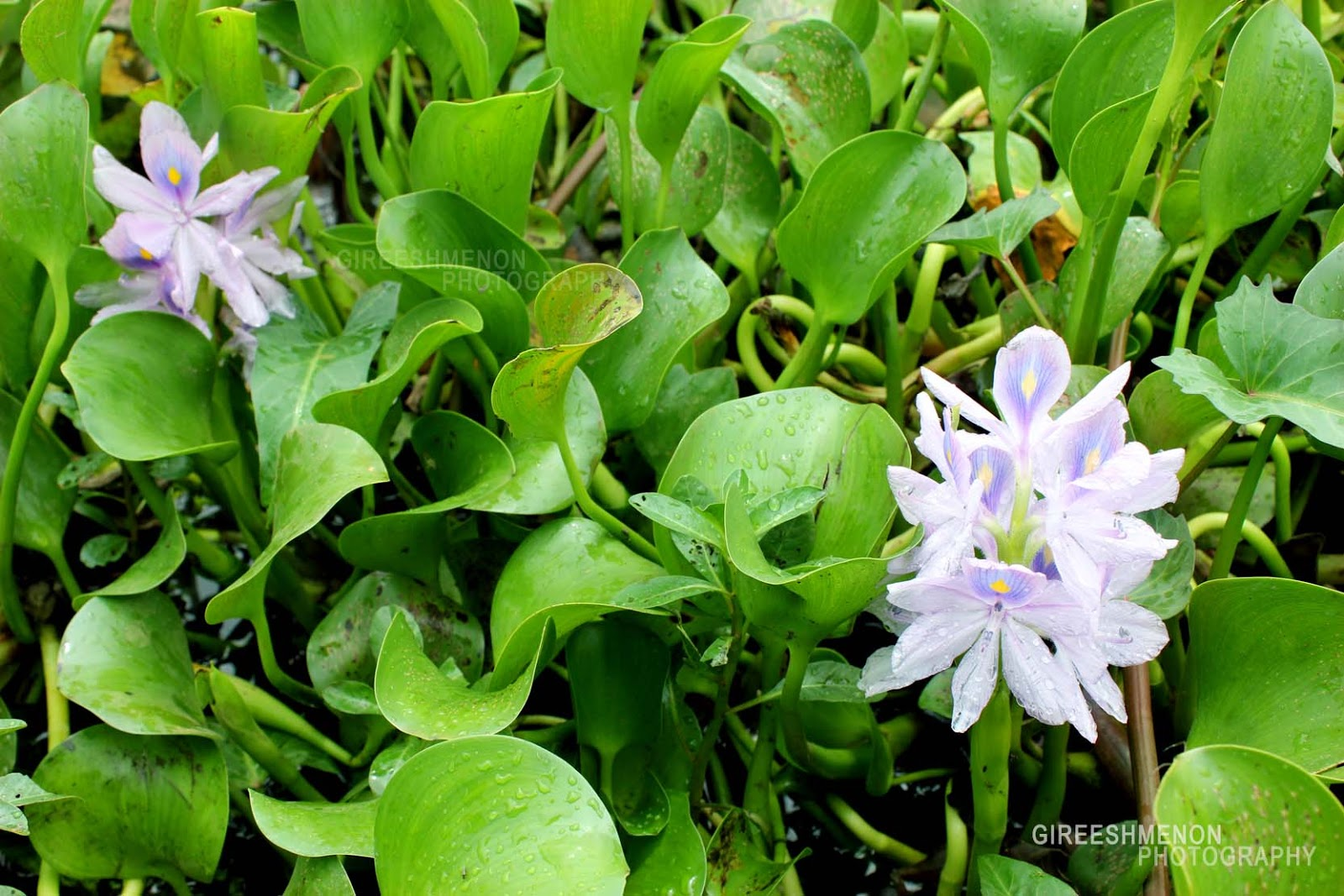 The gallery for --> Water Hyacinth Roots
