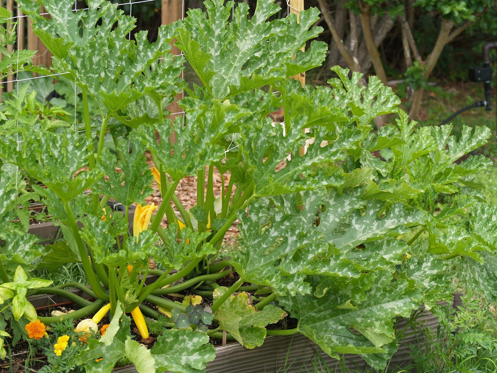 gardening in winter garden invasion of the pickleworms