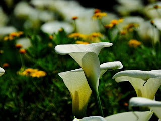 Mengenal Bibit Bibit Bunga Musim Panas