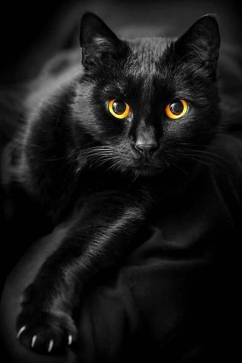 gatos negros dichos sabios rassel una gata de biblioteca. Black Bedroom Furniture Sets. Home Design Ideas