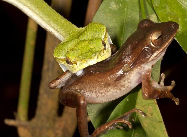 IMAGEM - Flagra: foto de cobra atacando perereca