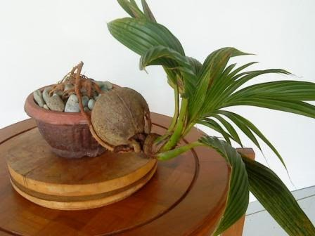 Bonsai Trees Bonsai Kelapa
