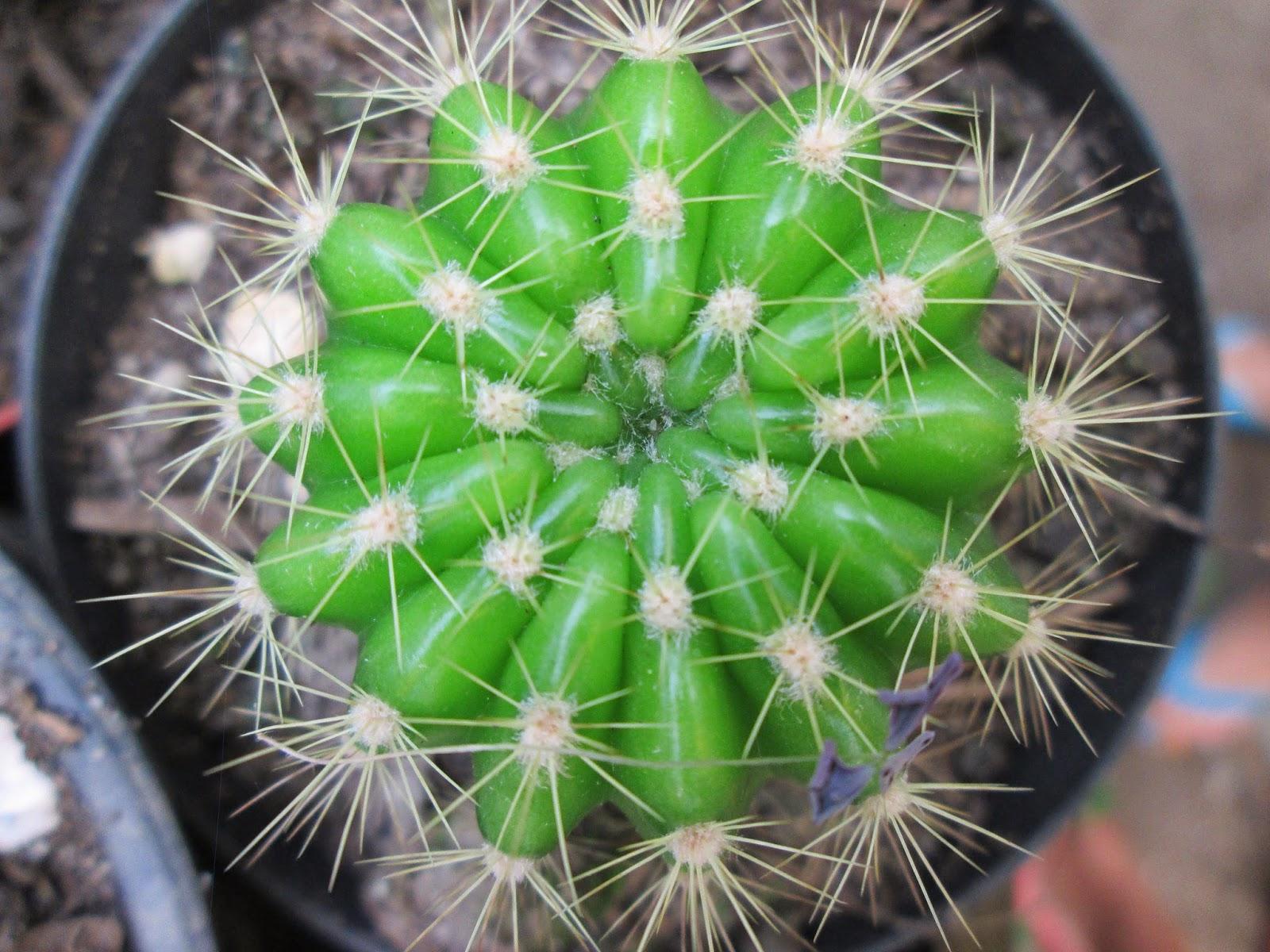 Geometría vegetal: número Phi, serie de Fibonacci y Ley de Ludwig.