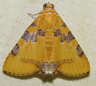 Eulepidotis hemura