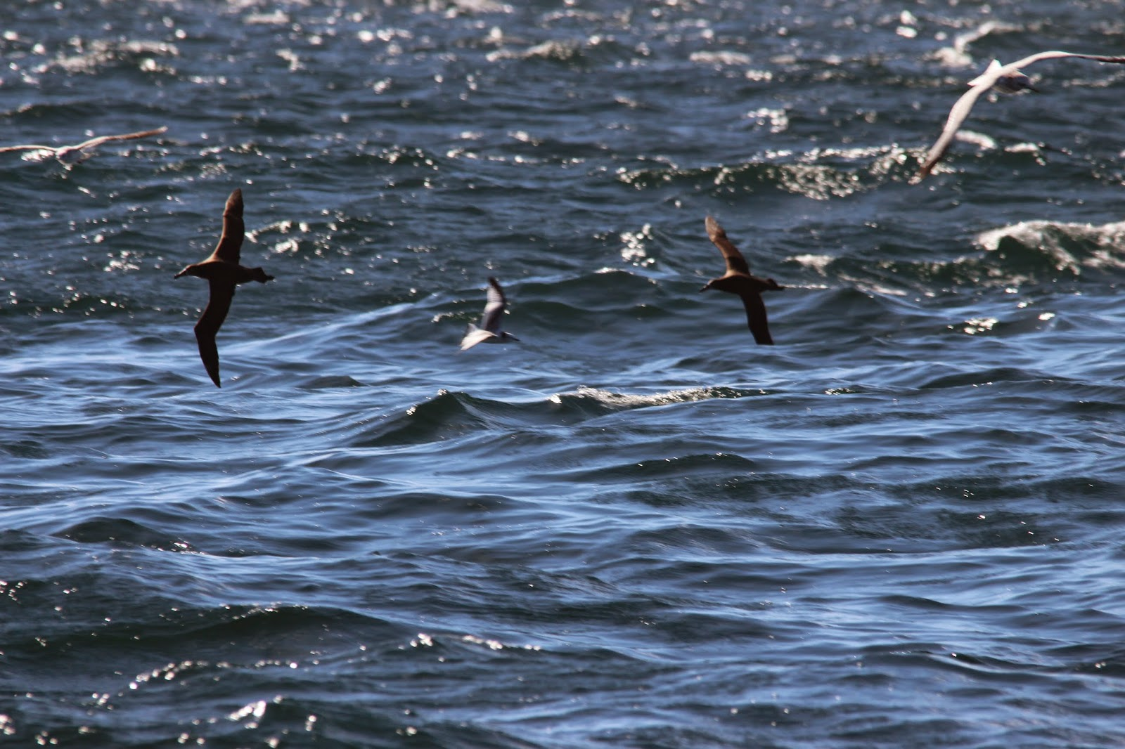 Above Is A Typical View Of Birds On The Ocean Black Footed Albatross And What Bird In Between Two