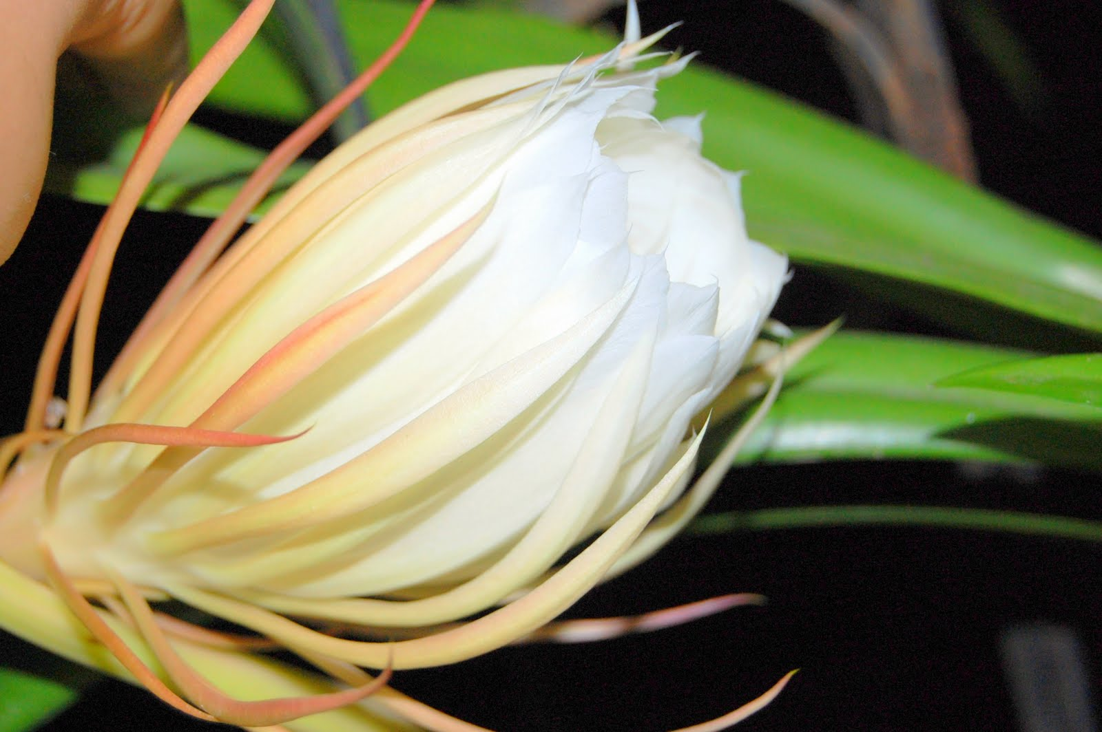My world brahma kamal the night queen it is also commonly known as nishagandhi in india or queen of the night the japanese people call it gekka bijin which means beautiful woman under the izmirmasajfo