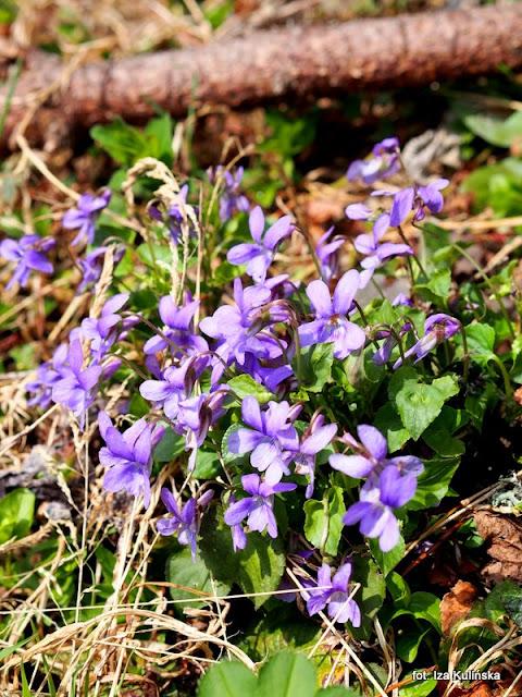 fiołki leśne , orawa , wiosna , kwiaty