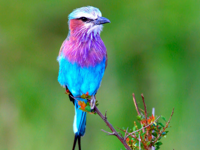 Beautiful bird at lilac breasted roller