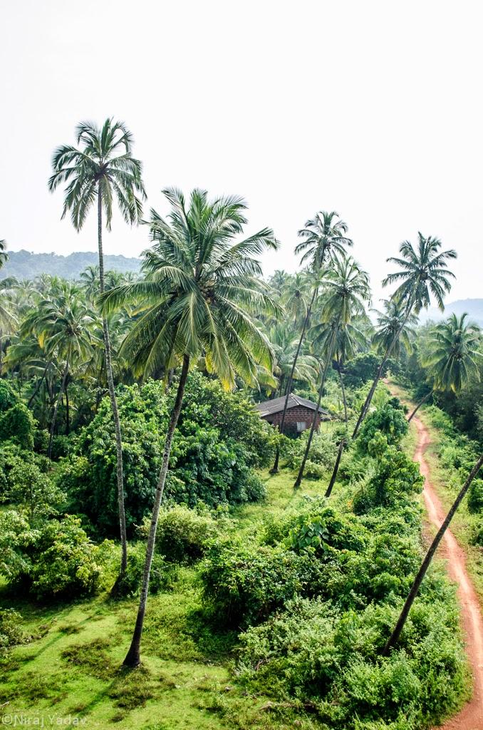 vengurla coconut trees