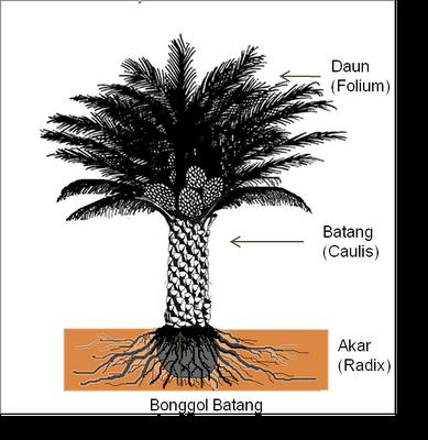 Morfologi Kelapa Sawit