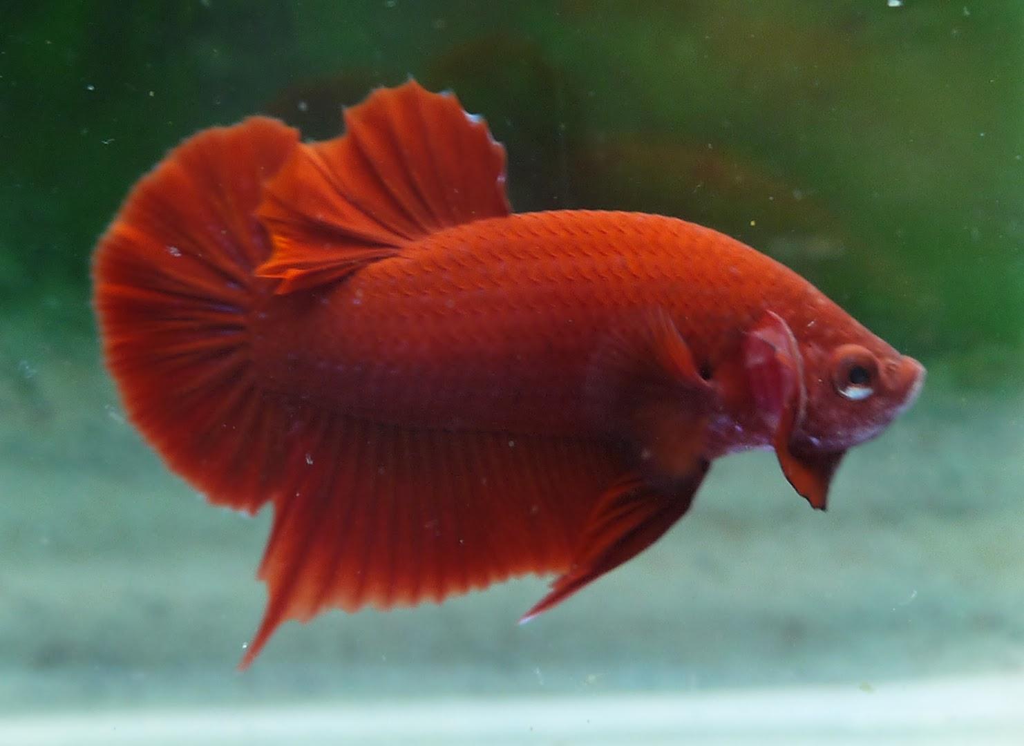 AquaBid.com - Archived Auction # fwbettashmp1388884910 - <<< Super ...