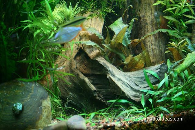 Neon Rainbowfish (Melanotaenia praecox) male +Submerged roots + Cyiptocoryne parva