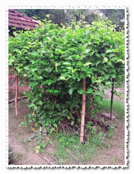 passion fruit growing in uganda pdf