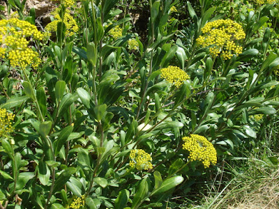 Bupleurum (Bupleurum Chinense ) Overview, Health Benefits, Side effects